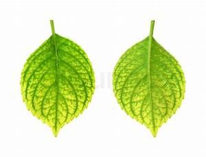 Stickstoffmangel Bei Pflanzen : jernmangel af hydrangea macrophylla blad klorose stock ~ Lizthompson.info Haus und Dekorationen