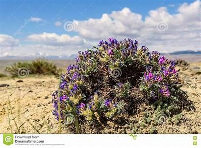 Steppe Flower Dracocephalum Sky Mountain Background Preview