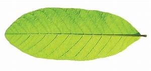 Which type of venation is found in a guava leaf? - Quora