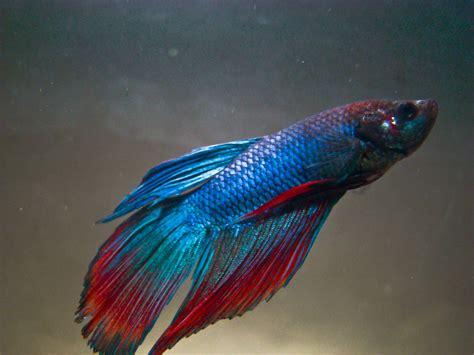 beta fish know your aquarium