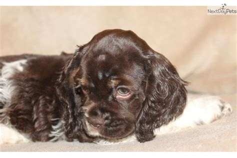 He has his tail docked, and will be up. Chocolate Parti: Cocker Spaniel puppy for sale near St Joseph, Missouri | 3950d886-d681