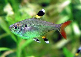 Image result for X-Ray Tetra