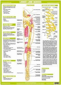 Lower Limb Nerve Anatomy Chart
