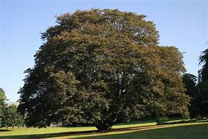 Trees Planet Acer Pseudoplatanus Sycamore Maple