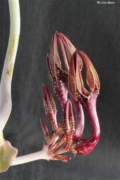 milkweed plants for 1000 images about plants stapeliads relatives 7504