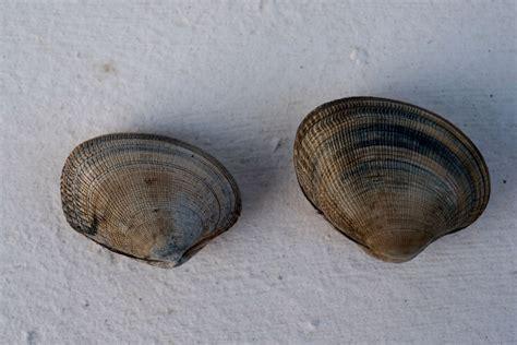 cuisiner la palourde pêche à la palourde dans le golfe du morbihan guide de