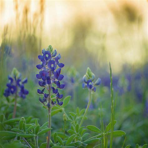 what is a bluebonnet texas state flower song quot bluebonnets quot