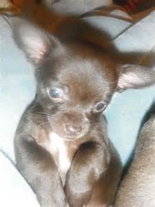 Black and Brown Chihuahua Puppies
