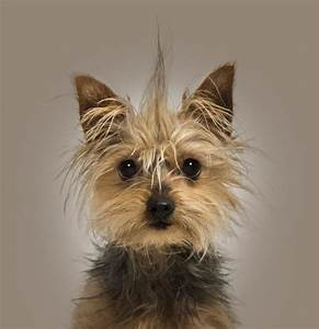 What Is the Life Span of a Teacup Yorkie?   Cuteness