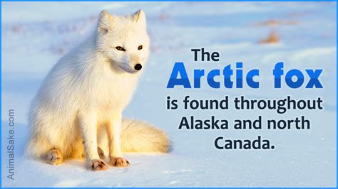 arctic fox adaptations