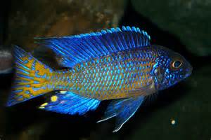 Most Colorful Freshwater Fish Cichlid