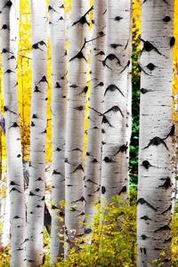 Items, Similar, To, Retiring, Soon, Aspen, Trees, Fall, Fall, Tree, Photo, Aspen, Tree, Decor, Colorado