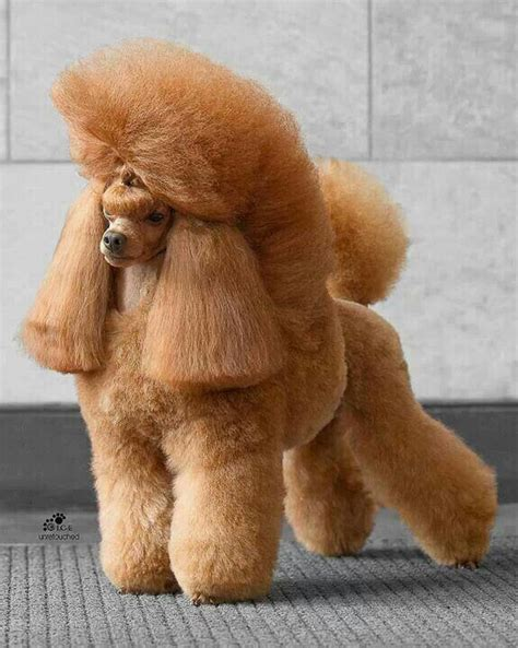 pin  dog grooming  styles