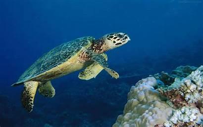 Underwater Wallpapers Turtle Sea Turtles Ocean Deep