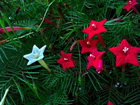 white  red cluster  cypress vine flowers photograph