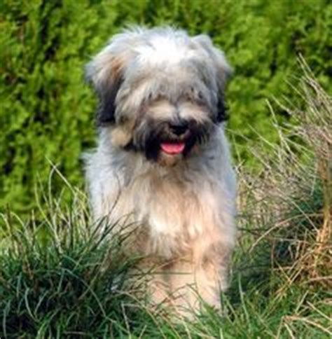 Tibetan Terriers Do They Shed by 1000 Images About Mijn Tibetaanse Terrier On