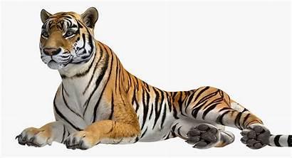 Tiger 3d Lying Models Turbosquid Keys