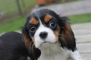 Cavalier King Charles Spaniel: Tricolor puppy kopen ...
