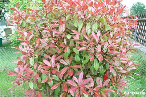 tip photinia red tip photinia photinia fraseri red robin hedge how to care prune plantopedia