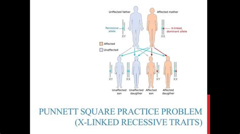 Punnett Square Practice Problems (xlinked Recessive) Youtube