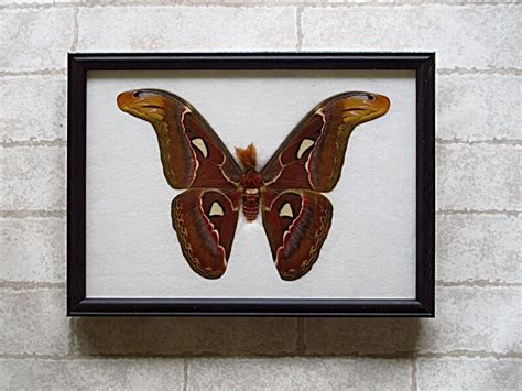 Taxidermy Home Decor: REAL BIG ATTACUS ATLAS MOTH (M) BUTTERFLY TAXIDERMY FRAMED