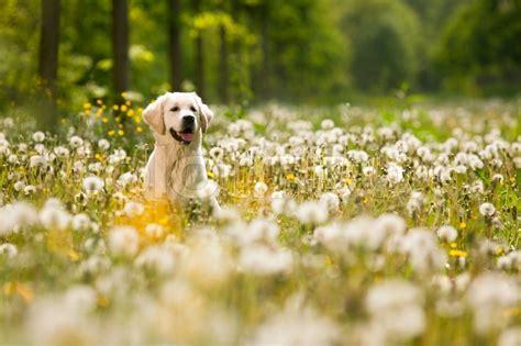 young golden retriever posing  dandelions stock