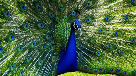 blauer pfau indian peacock hd p youtube