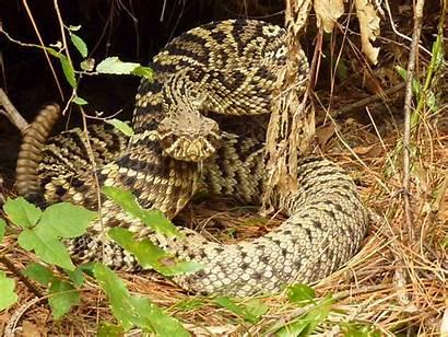 Rattlesnake Wallpapers Eastern Diamondback Backgrounds Butterfly Rattlesnakes