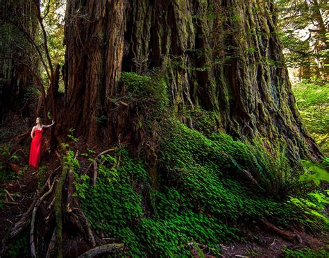 Californias Big Tree Hunters The California Sun