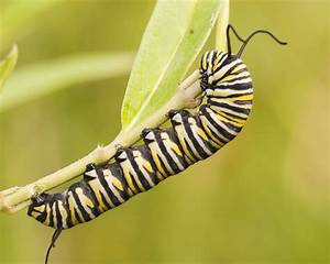 Monarch Butterfly Facts  Pictures  U0026 Video  Find Out About
