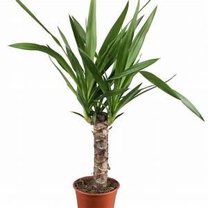 Yucca Palme Winterhart : welche pflanzen sind f r das schlafzimmer besonders geeignet ~ Frokenaadalensverden.com Haus und Dekorationen