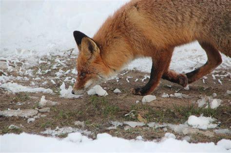 Vai meža dzīvnieki jau gaida pavasari? | LA.LV