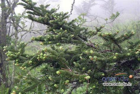 types of live christmas trees photos pics 229389