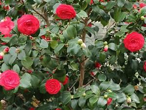 Camellia Japonica Winterhart : camellia japonica japanese camellia world of flowering plants ~ Eleganceandgraceweddings.com Haus und Dekorationen