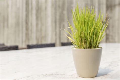 grow lemongrass indoors learn   grow