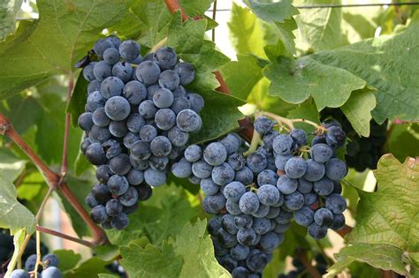 grapes integrated pest management washington state