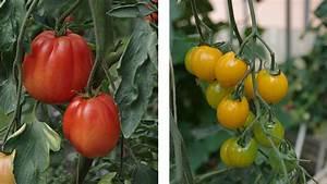 Tomaten In Der Wohnung : tipps f r tomaten ~ Lizthompson.info Haus und Dekorationen