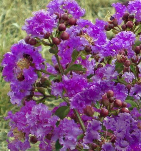 lilas des indes en pot 28 images la p 233 pini 232 re