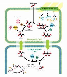C3 Vs C4 Photosynthesis In Plants  A Comparison Table