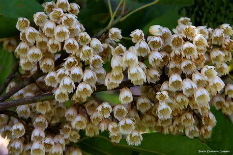 elaeocarpus eumundi eumundi quandongsmooth leaved quand