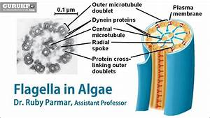 Flagella In Algae -  B Sc   M Sc