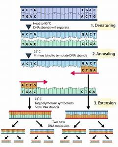 What Are The Role Of Primers In A Polymerase Chain