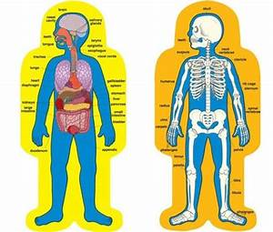Picture Of Human Body Organs For Kids 580x492