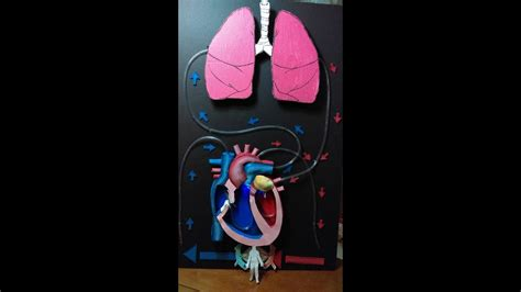 proyecto sistema circulatorio circulatory system project youtube