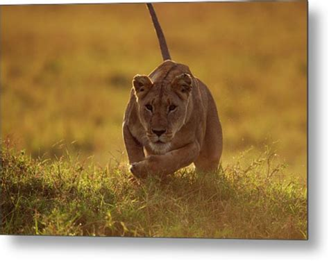 Lioness Running By Anup Shah