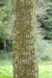 guide  tree identification  bark  basic woodworking