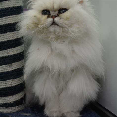 Chinchilla Persian Cat Given Close Shave After Being