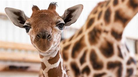 Woodland Park Zoo Welcomes New Baby Giraffe And It's A Boy