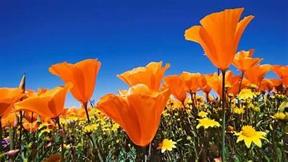 Orange Flower Desktop Flowers Wallpapers Computer