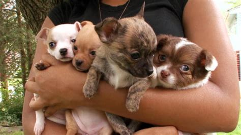 chiweenie dogs  animal planet